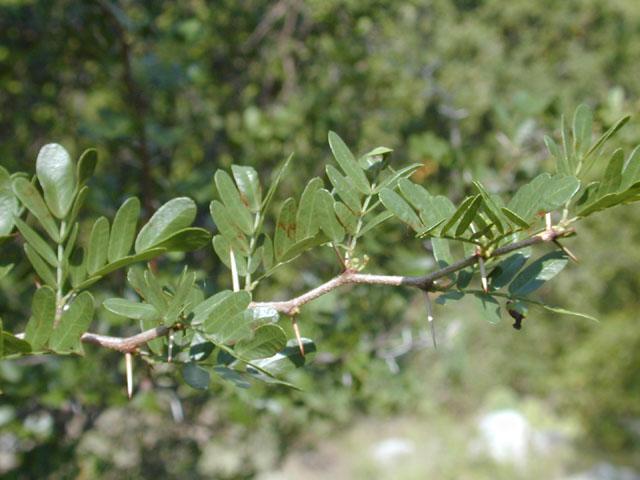 Blackbrush Acacia Vachellia Rigidula