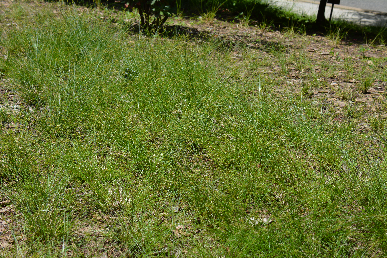 Texas Sedge Carex Texensis