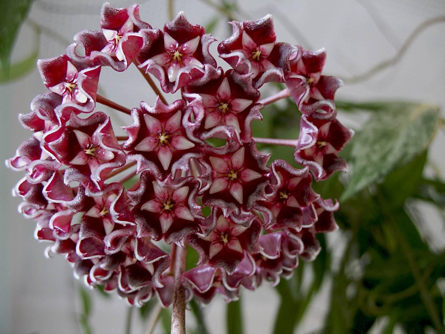Fiori Hoya.Hoya Plant